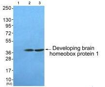 DBX1 Antibody (PA5-38237)