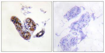 MiTF Antibody (PA5-38294)