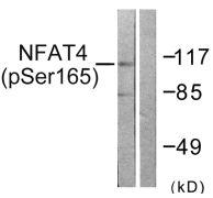 Phospho-NFATC3 (Ser165) Antibody (PA5-38303)