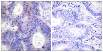 Phospho-p23 (Ser113) Antibody (PA5-38337)