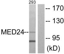 THRAP4 Antibody (PA5-38545)