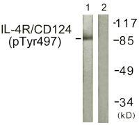 Phospho-IL4R (Tyr497) Antibody (PA5-38614)