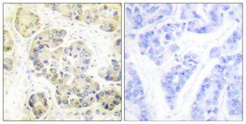 MARK Pan Antibody (PA5-38673)