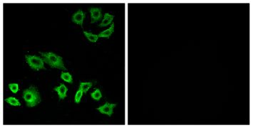 RhoH Antibody (PA5-38688)