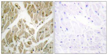 API5 Antibody (PA5-38847)