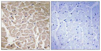 COL16A1 Antibody (PA5-38893)