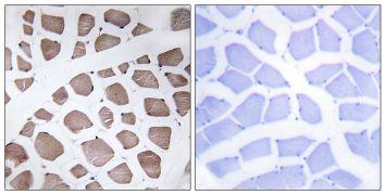 MRPS18C Antibody (PA5-38951)