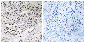CEP131 Antibody (PA5-38978)