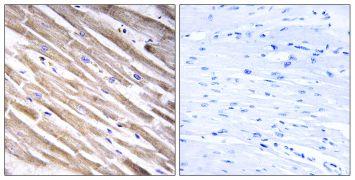 RPL3L Antibody (PA5-38992)