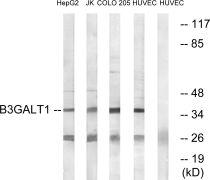 B3GALT1 Antibody (PA5-39053)