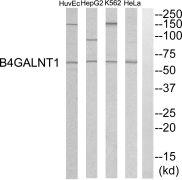 B4GALNT1 Antibody (PA5-39056)