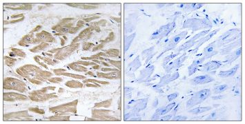 BRP44L Antibody (PA5-39062)