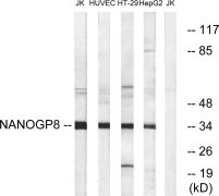 NANOGP8 Antibody (PA5-39211)