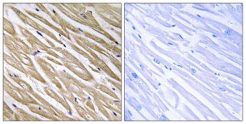NREP Antibody (PA5-39301)