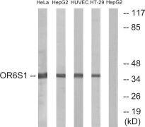 OR6S1 Antibody (PA5-39667)