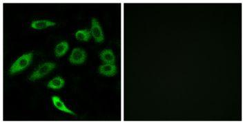 TAS2R3 Antibody (PA5-39712)