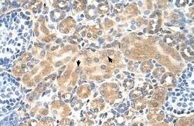 TSPAN5 Antibody (PA5-42906)