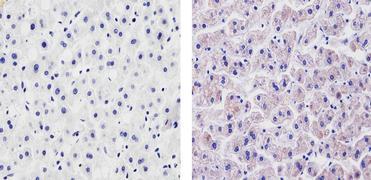 VEGF Antibody (PA5-16754)