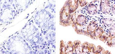 Claudin 3 Antibody (PA5-16867)
