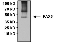 PAX5 Antibody (PA1-109)