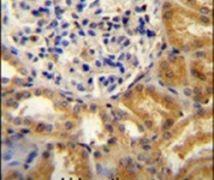 PEAR1 Antibody (PA5-23838)