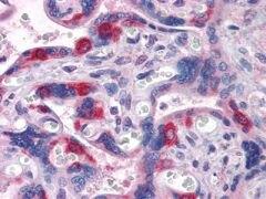 PEG10 Antibody (MA5-15475)