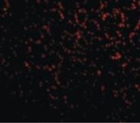 PHAP Antibody (PA5-20025)