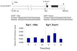 Phospho-PKA beta (Ser338) Antibody (44-992G)