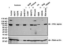 PKC alpha Antibody (MA1-157)