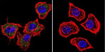 PRC1 Antibody (MA1-846)