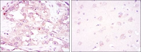 AMPK alpha-1 Antibody (MA5-15815)