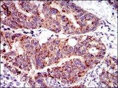SHP-2 Antibody (MA5-17160)