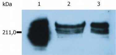 CD45RA Antibody (MA1-19113)