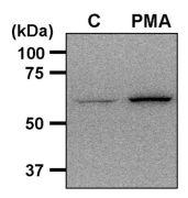 Phospho-AMPK alpha-1 (Thr172) Antibody (PA5-17831)