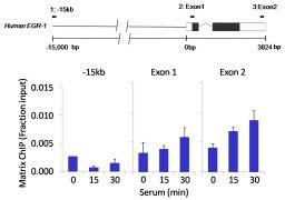 Phospho-MEK1 (Ser217, Ser221) Antibody (701267)