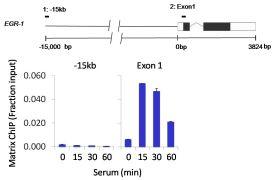 Phospho-POLR2A (Ser2, Ser5) Antibody (PA5-17563)