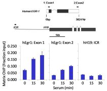 Phospho-STAT5 alpha (Tyr694) Antibody (701063)