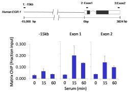 Phospho-eIF2a (Ser51) Antibody (710292)