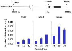 Phospho-p38 MAPK / MAPK14 pThr180+pTyr182 Antibody (710088)