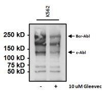 Phosphotyrosine Antibody (MA4-003)