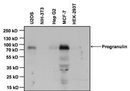 Progranulin Antibody (MA1-187)