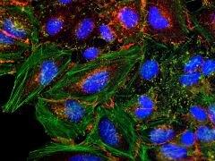 Rabbit IgG (H+L) Secondary Antibody (Q-11421MP)