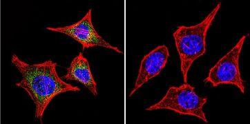 RAB9A Antibody (MA3-067)
