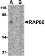 RAP80 Antibody (PA5-20413)