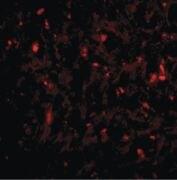 RAP80 Antibody (PA5-20414)