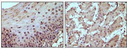 Rb Antibody (MA5-15240)