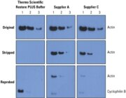 Restore PLUS Western Blot Stripping Buffer is most effective for reprobing with different antibodies