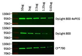 Rabbit IgG (H&L) Secondary Antibody (SA5-35571)