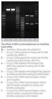 The effect of SDS on electrophoresis on resolving band shifts