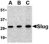 SLUG Antibody (PA1-86737)